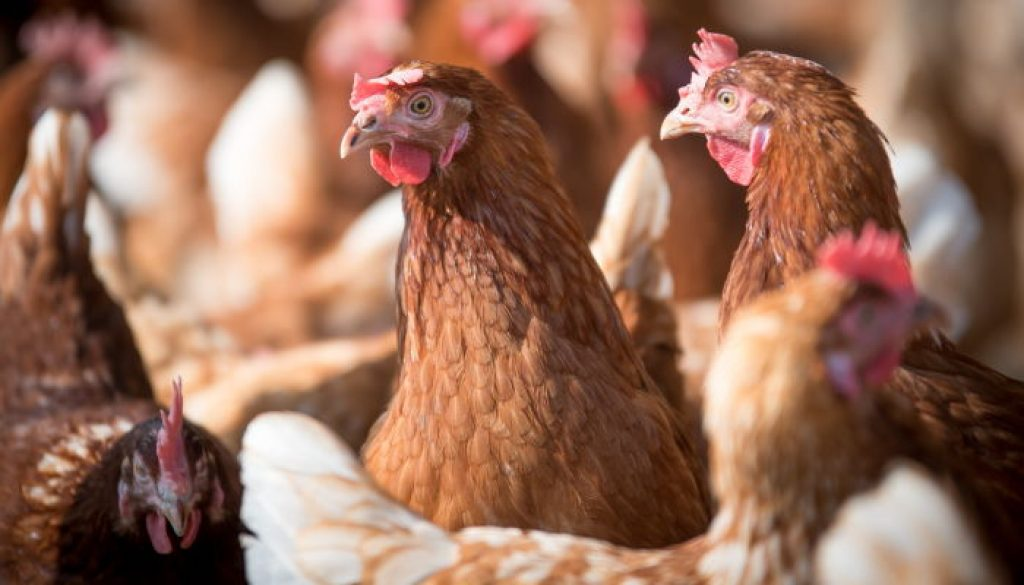 chickens-min